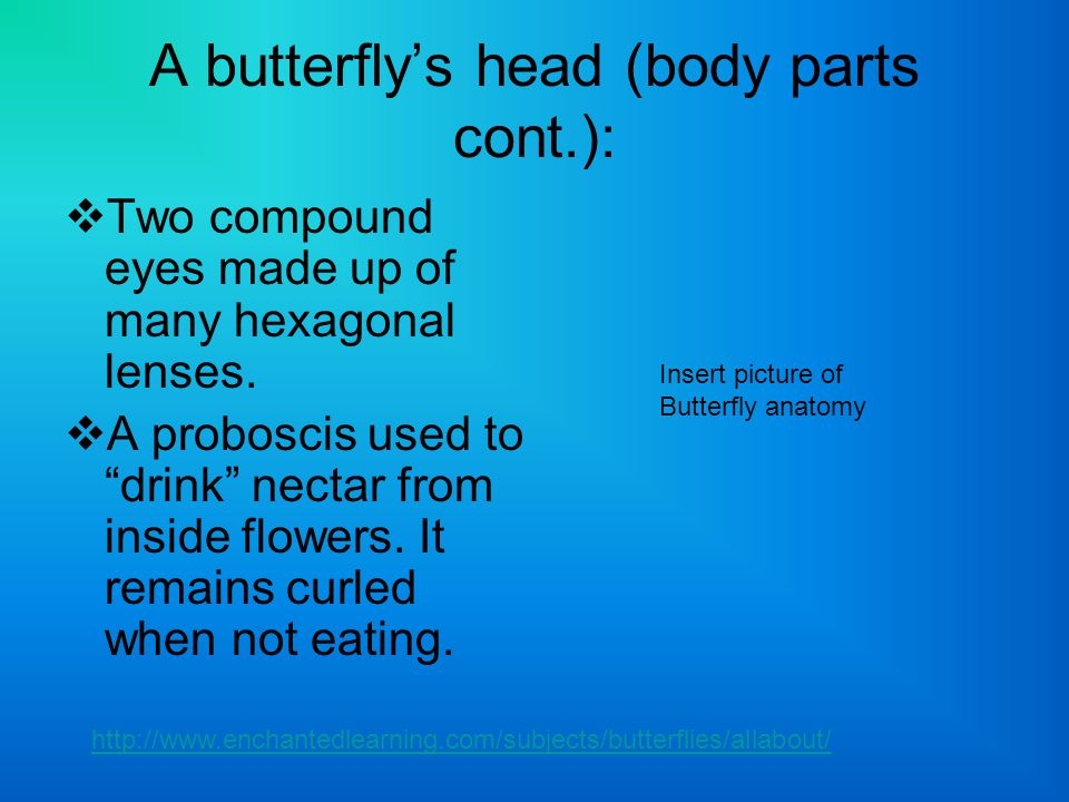 A butterfly's head (body parts cont.):