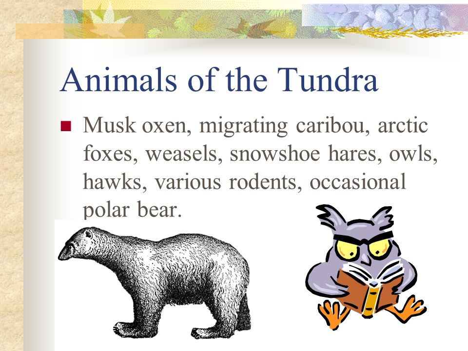 Animals of the Tundra Musk oxen, migrating caribou, arctic foxes, weasels, snowshoe hares, owls, hawks, various rodents, occasional polar bear.