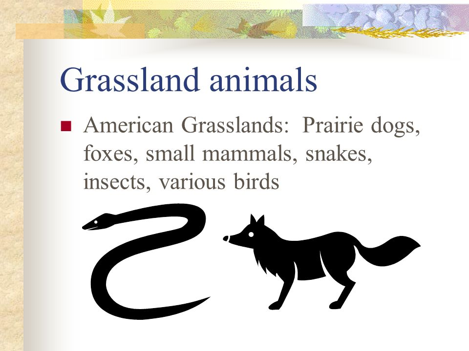 Grassland animals American Grasslands: Prairie dogs, foxes, small mammals, snakes, insects, various birds.