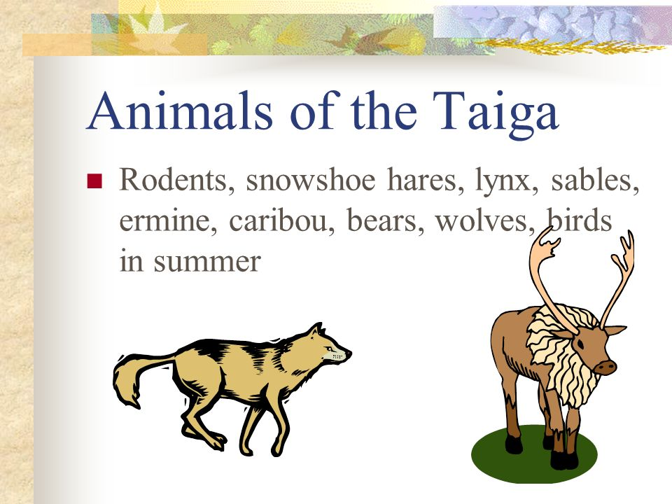 Animals of the Taiga Rodents, snowshoe hares, lynx, sables, ermine, caribou, bears, wolves, birds in summer.