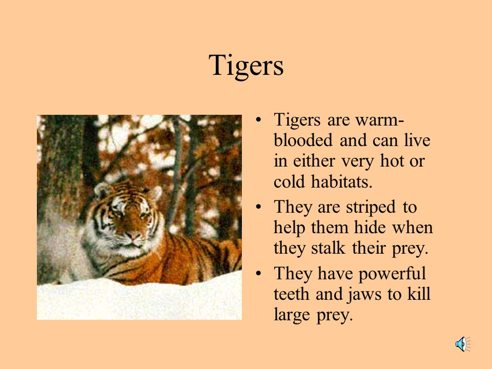 Tigers Tigers are warm-blooded and can live in either very hot or cold habitats. They are striped to help them hide when they stalk their prey.