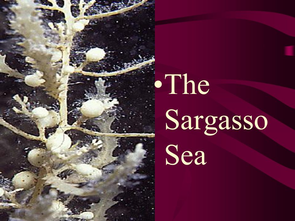 The Sargasso Sea