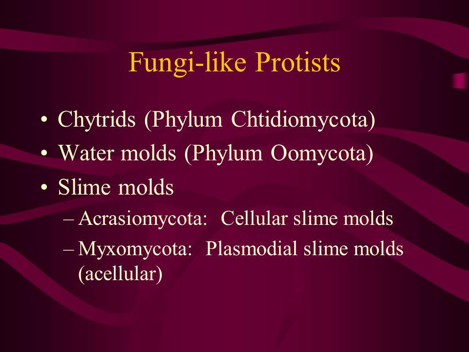 Fungi-like Protists Chytrids (Phylum Chtidiomycota)
