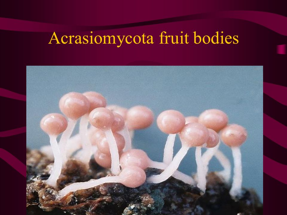 Acrasiomycota fruit bodies