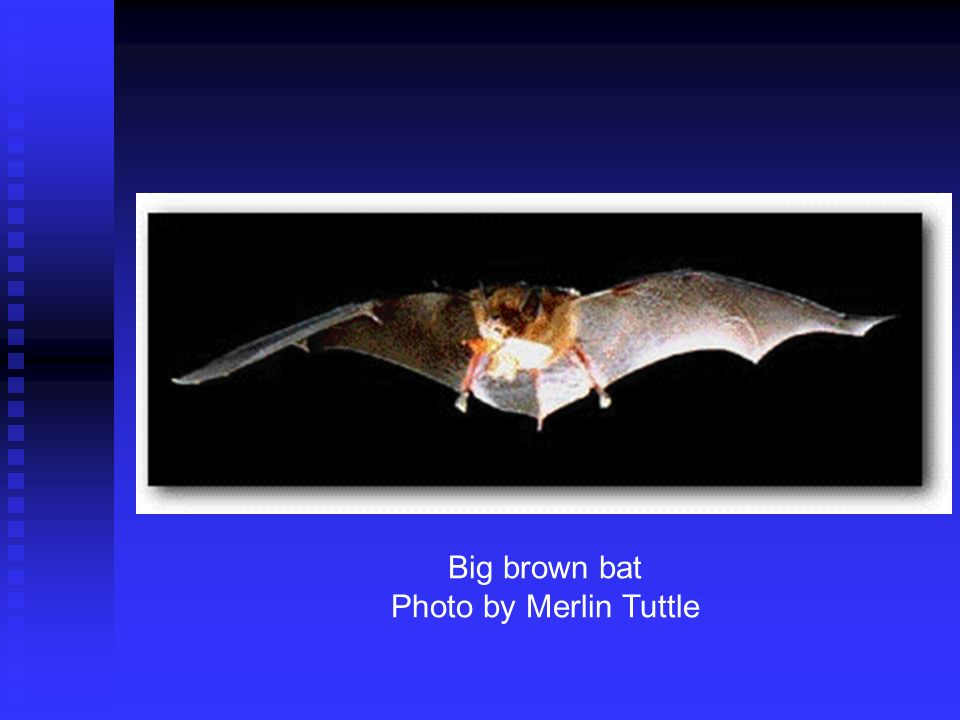Big brown bat Photo by Merlin Tuttle