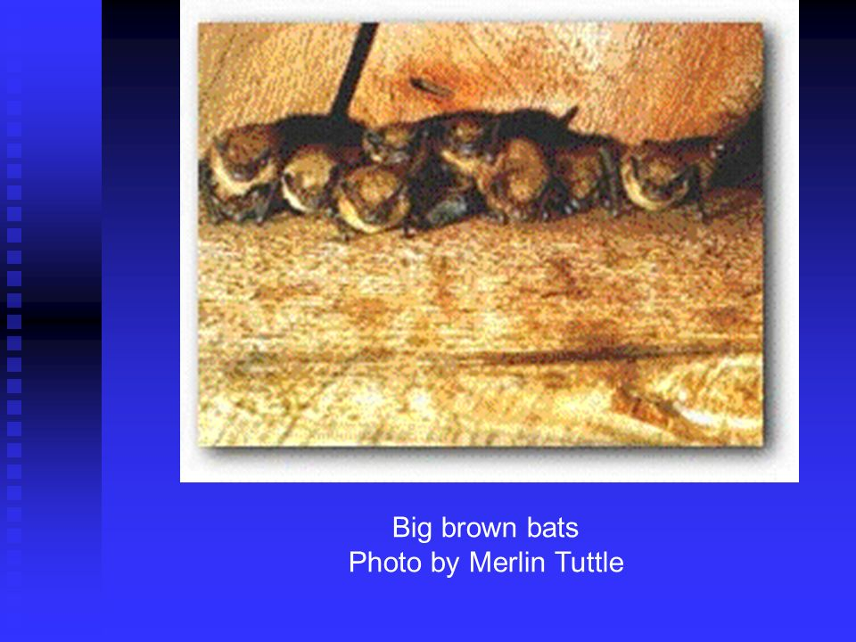 Roosting big brown bats.