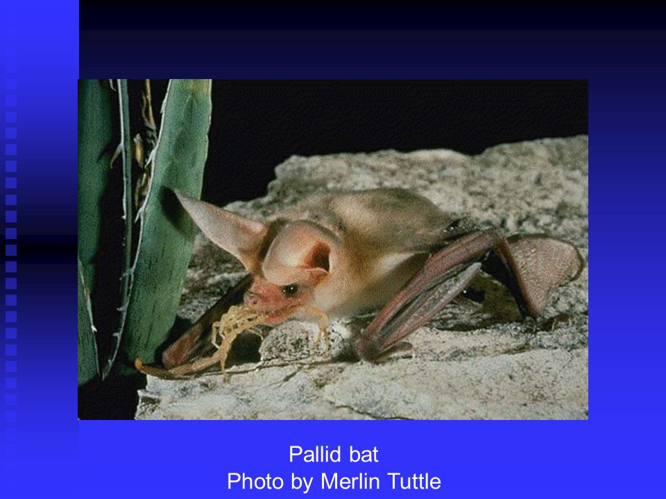 Pallid bat Photo by Merlin Tuttle