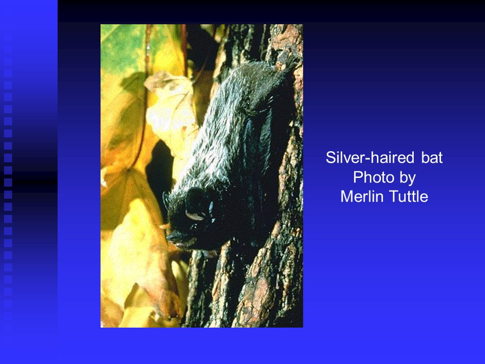 Silver-haired bat Photo by Merlin Tuttle