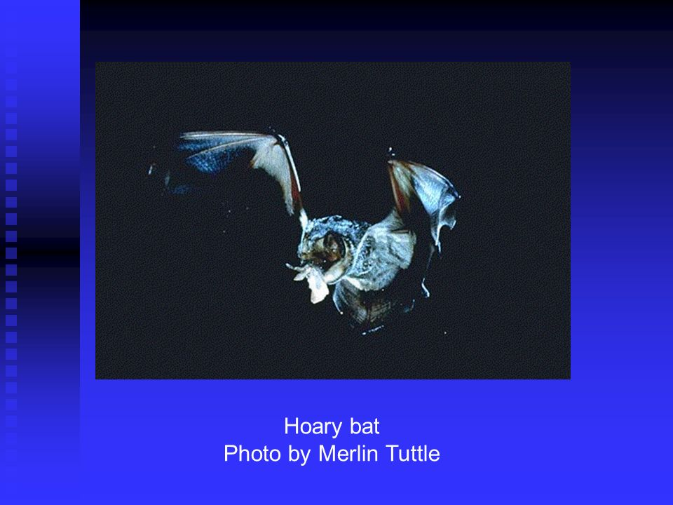 Hoary bat Photo by Merlin Tuttle