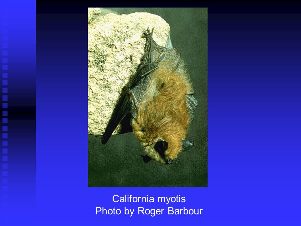 California myotis Photo by Roger Barbour