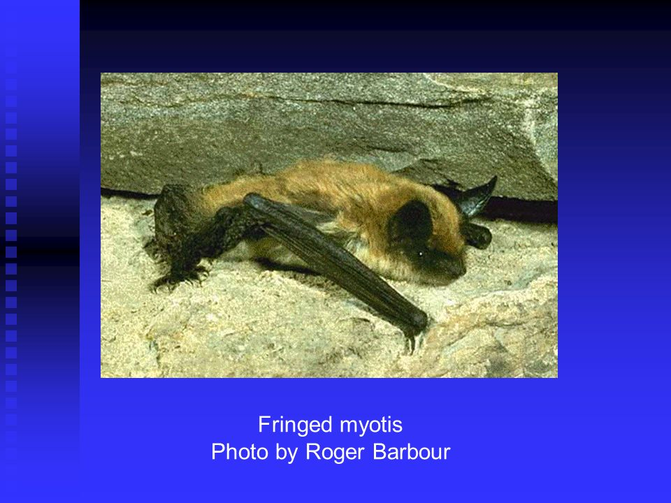Fringed myotis Photo by Roger Barbour