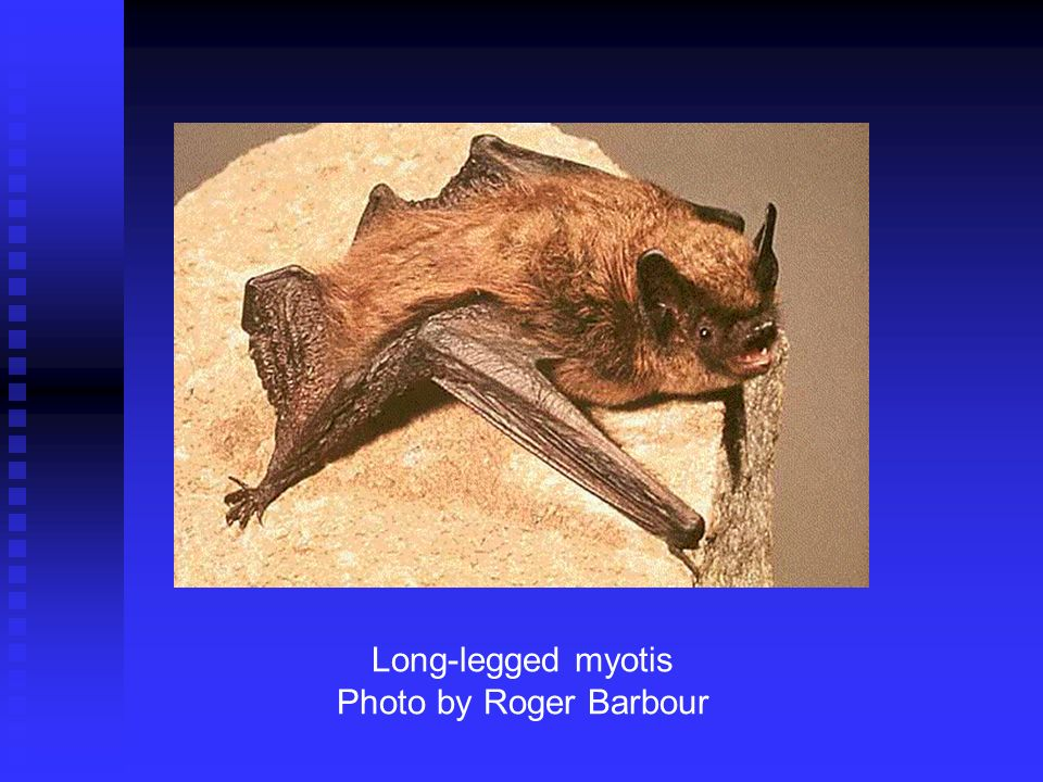 Long-legged myotis Photo by Roger Barbour