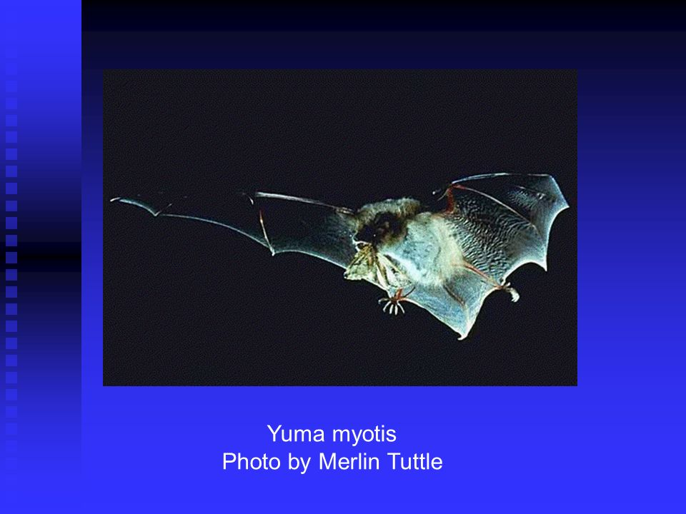 Yuma myotis Photo by Merlin Tuttle