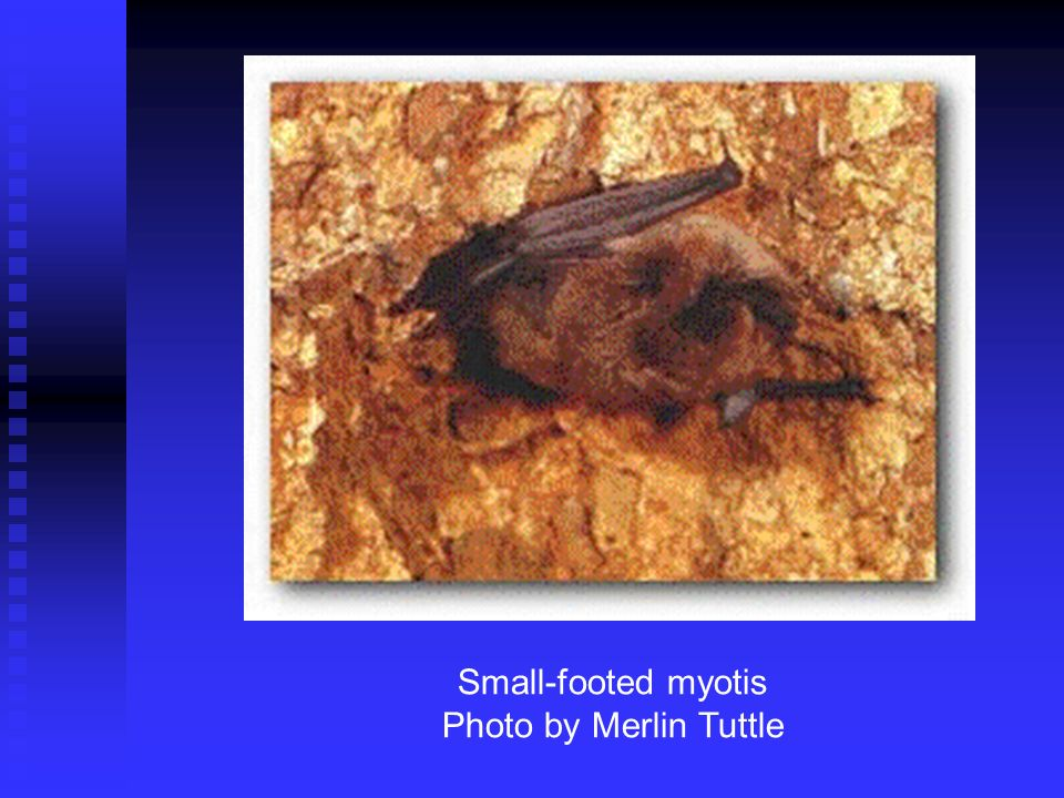 Small-footed myotis Photo by Merlin Tuttle