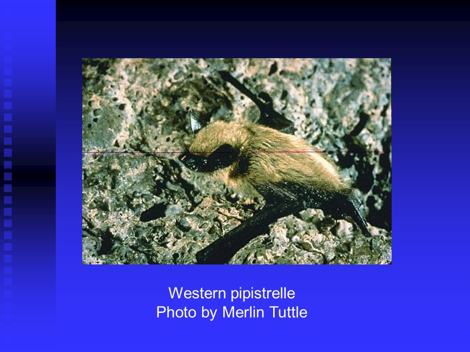 Western pipistrelle Photo by Merlin Tuttle