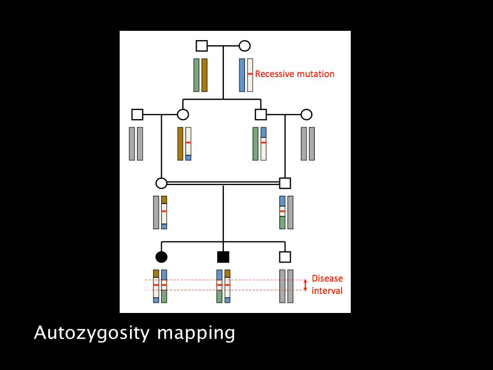 Autozygosity mapping