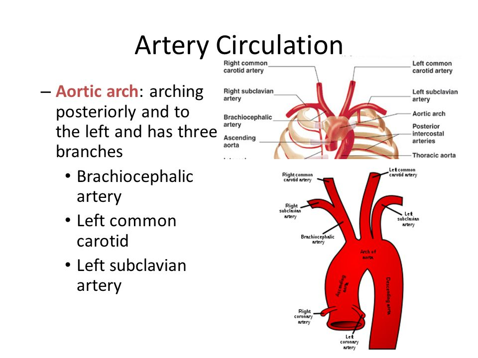Aortic arch anatomy
