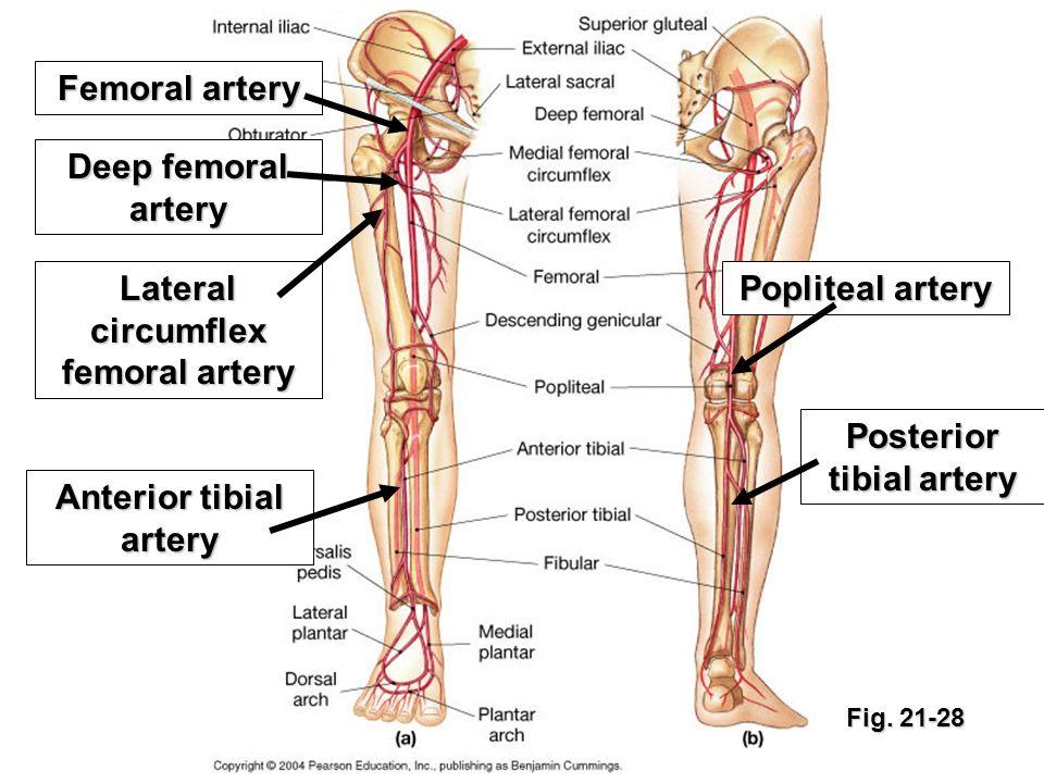 Wunderbar Poplitea Nerven Anatomie Bilder - Anatomie Ideen - finotti ...