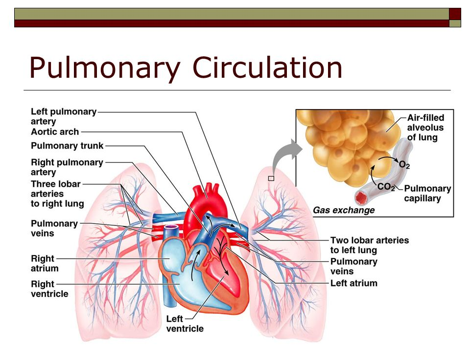 excerise 32 pulmonary circulation 32 define pulse the pressure wave that travels through arteries following   pulmonary arteries: oxygen poor to lungs pulmonary veins: oxygen rich to  heart  arteries in the pulmonary circulation have thinner walls, they are more  like veins  during increased exercise, venous return increases or decreases  why.