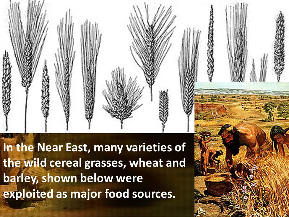 In the Near East, many varieties of the wild cereal grasses, wheat and barley, shown below were exploited as major food sources.