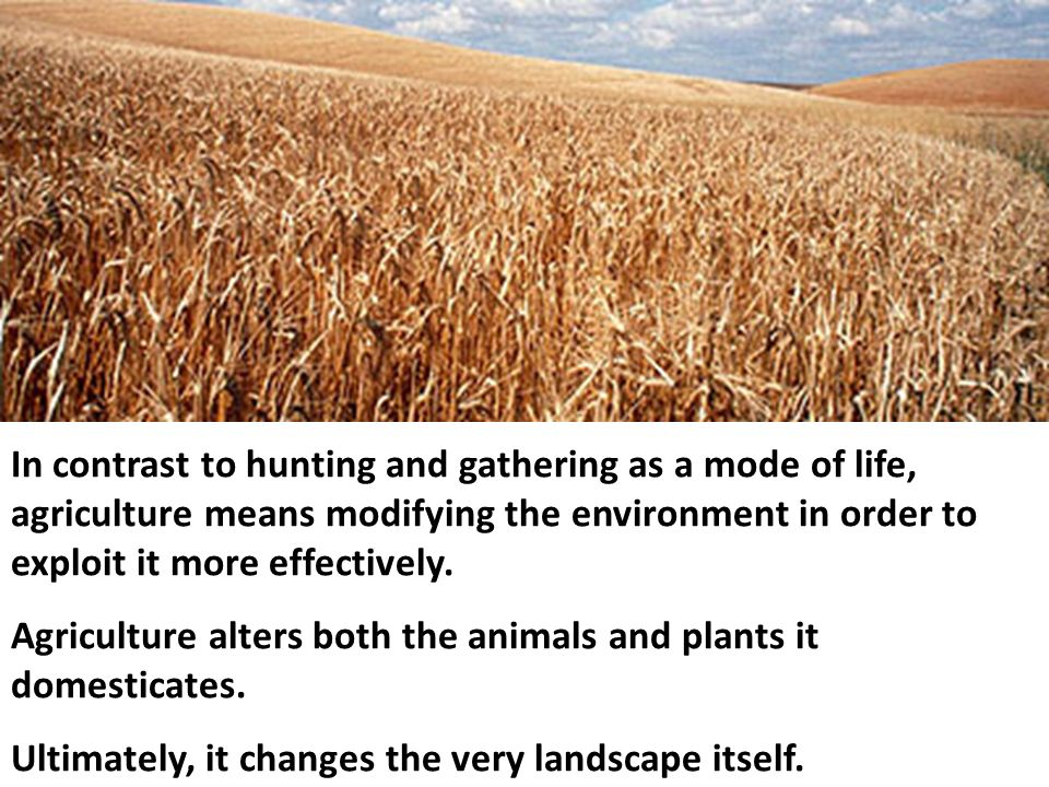 In contrast to hunting and gathering as a mode of life, agriculture means modifying the environment in order to exploit it more effectively.