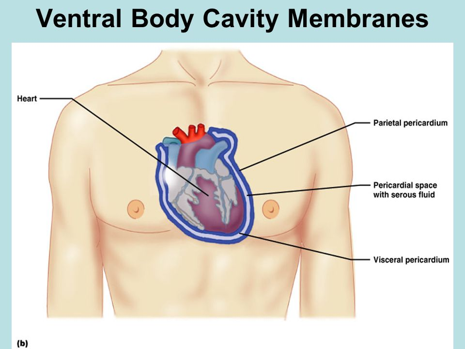 Ventral Body Cavity Membranes