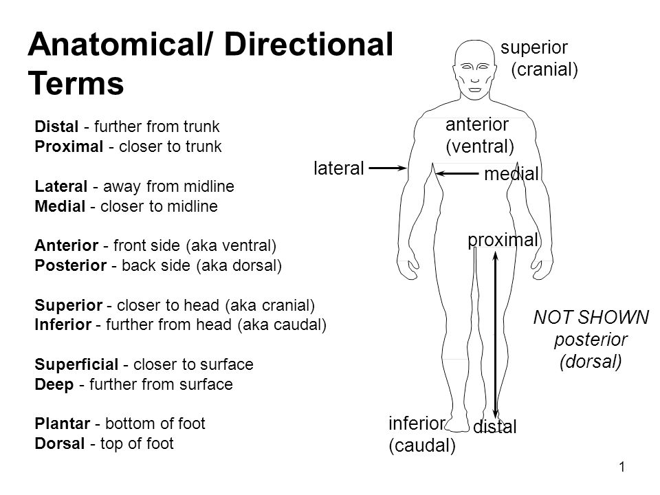 Anatomical/ Directional Terms - ppt video online download