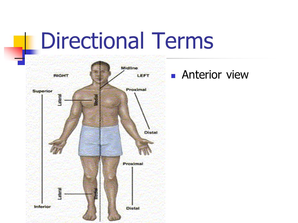 Directional Terms Anterior view