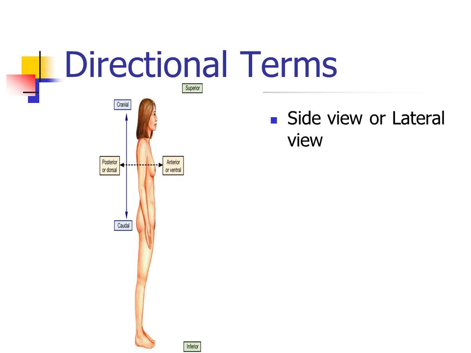 Directional Terms Side view or Lateral view