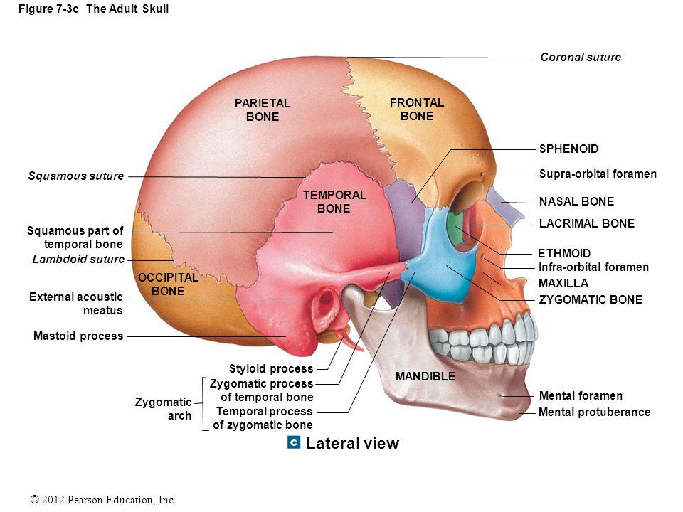 Free Worksheets axial skeleton worksheet : Figure 7-3c The Adult Skull - ppt video online download