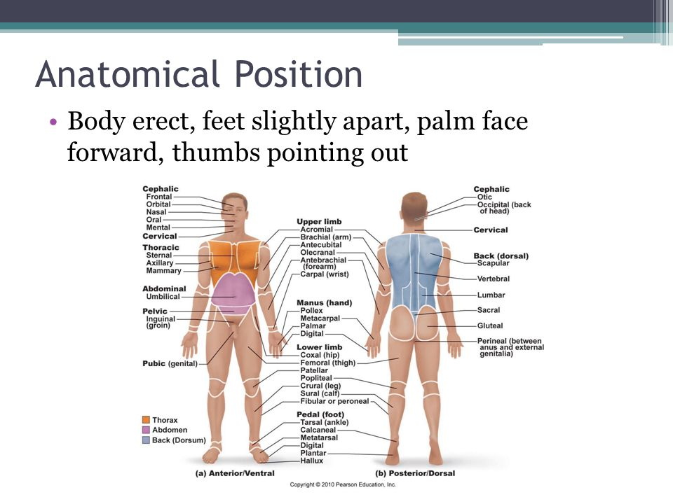 Anatomical Position Body erect, feet slightly apart, palm face forward, thumbs pointing out
