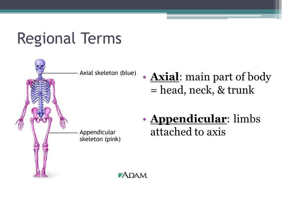 Regional Terms Axial: main part of body = head, neck, & trunk