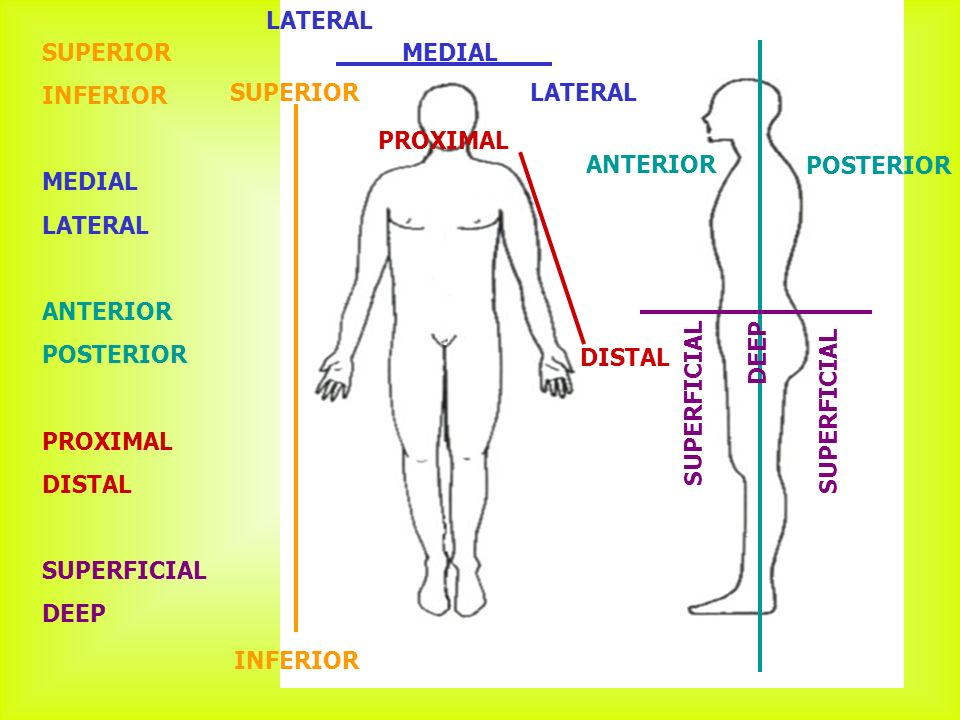 File Abdominal Quadrant Regions in addition Mesh info additionally Lymph Nodes also Thyroid Gland together with Anatomy And Physiology Anatomical Position And Directional Terms. on anatomical terms of location