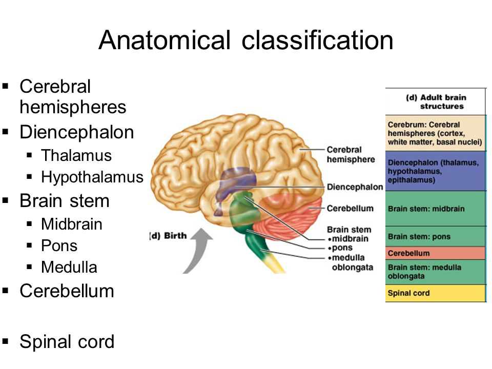 Central Nervous System (CNS): An overview - ppt download Brainstem And Spinal Cord