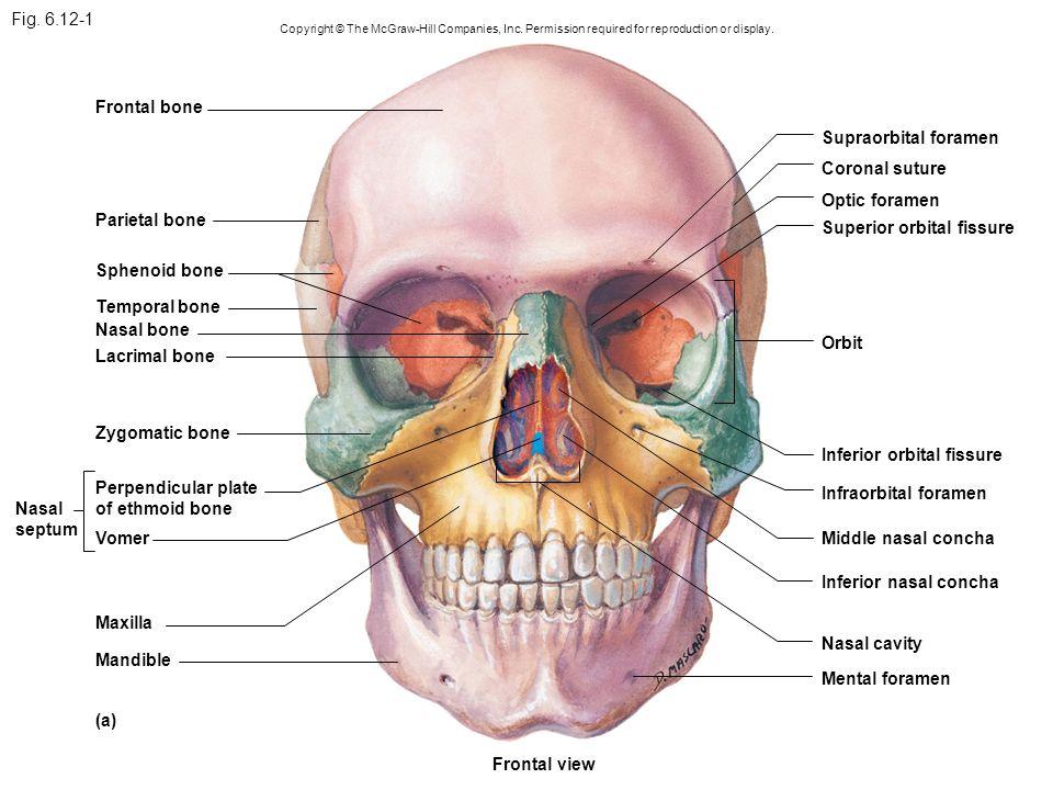 Sphenoid Bone Superior Orbital Fissure – kefei04.com