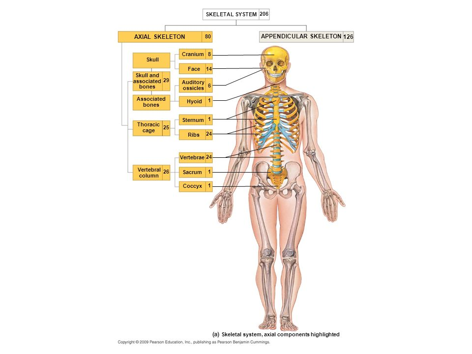 Appendicular Skeleton Ppt Video Online Download
