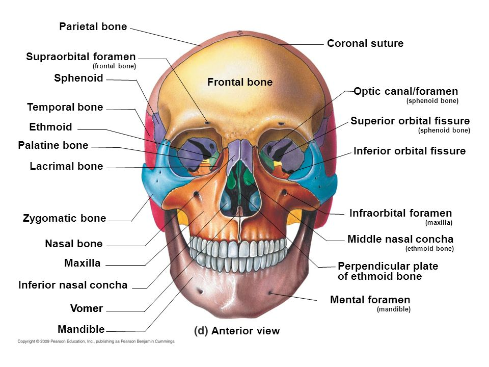 Beste Foramen Definition Anatomie Ideen - Menschliche Anatomie ...