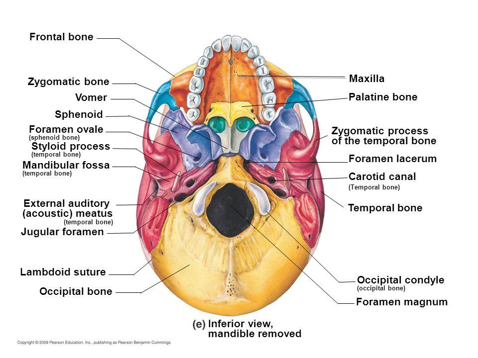 appendicular skeleton ppt video online download, Human Body