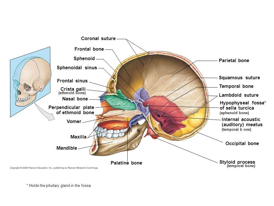 appendicular skeleton ppt video online download, Sphenoid