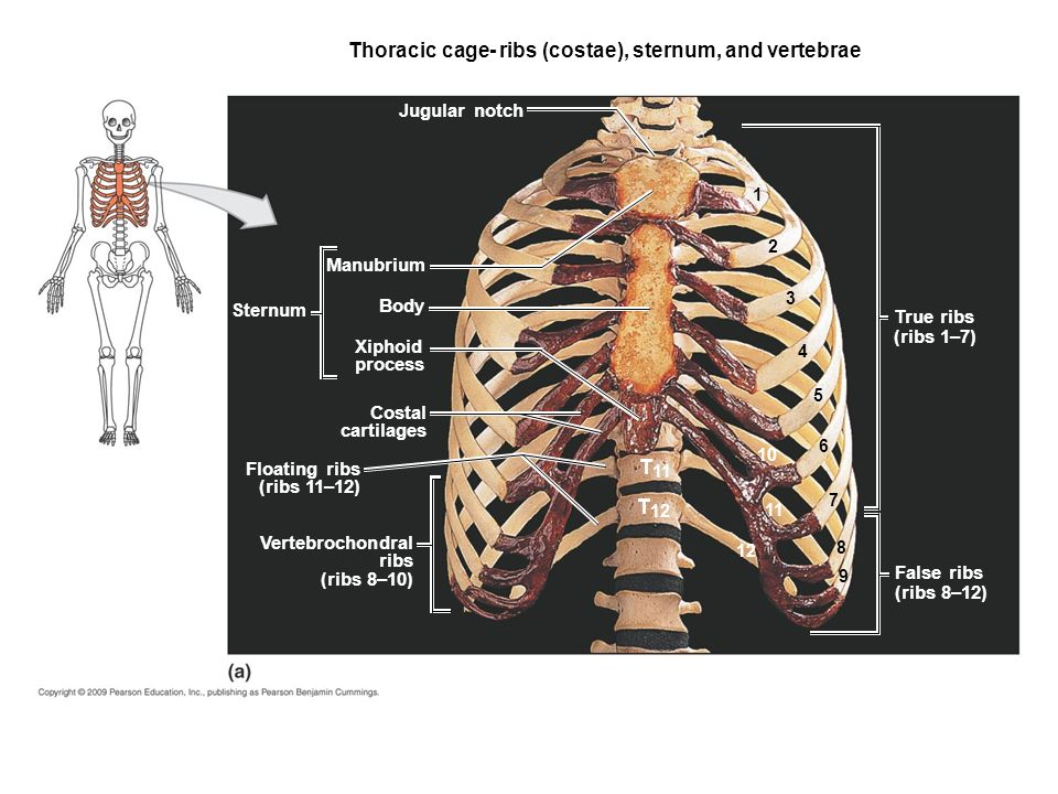 Anatomy of ribs and sternum 1533334 - es-youland.info