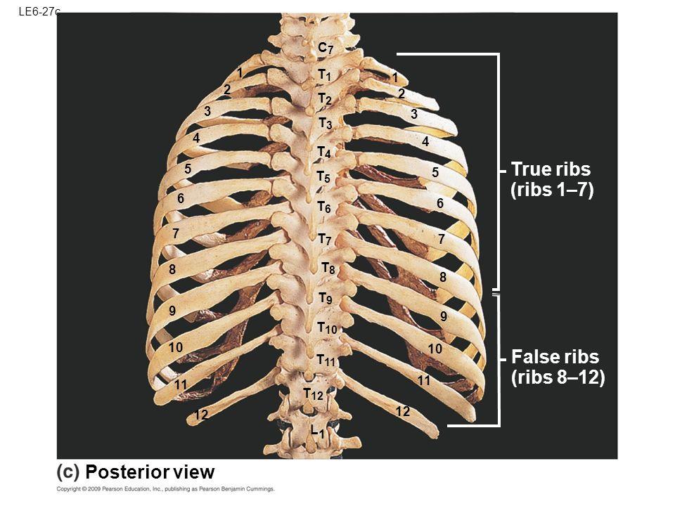 appendicular skeleton ppt video online download, Cephalic Vein