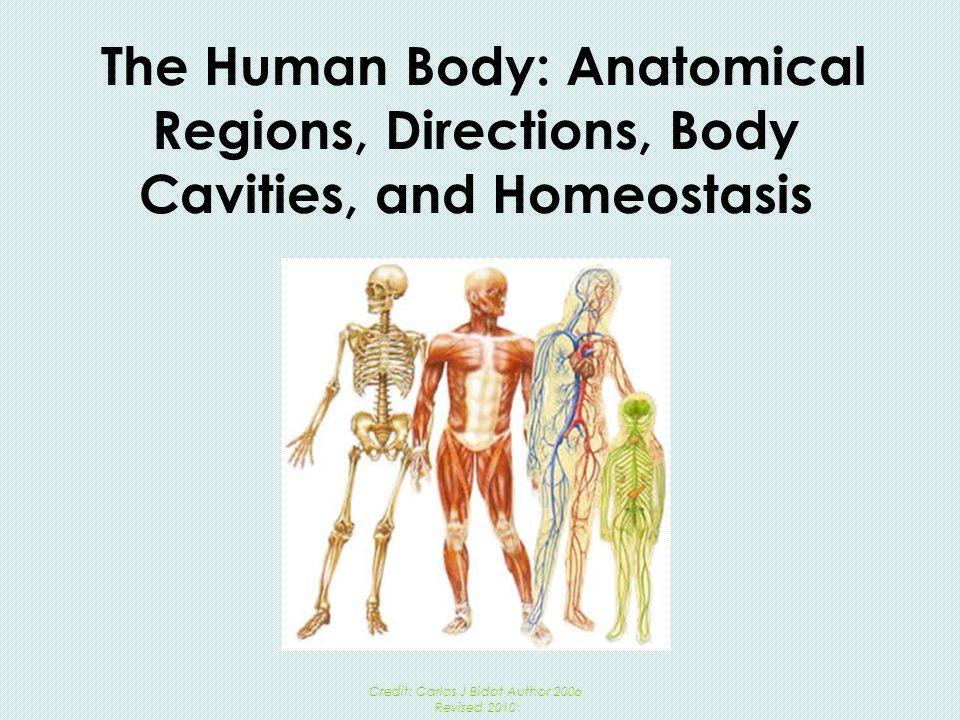 Gemütlich Human Anatomy Regions Fotos - Menschliche Anatomie Bilder ...