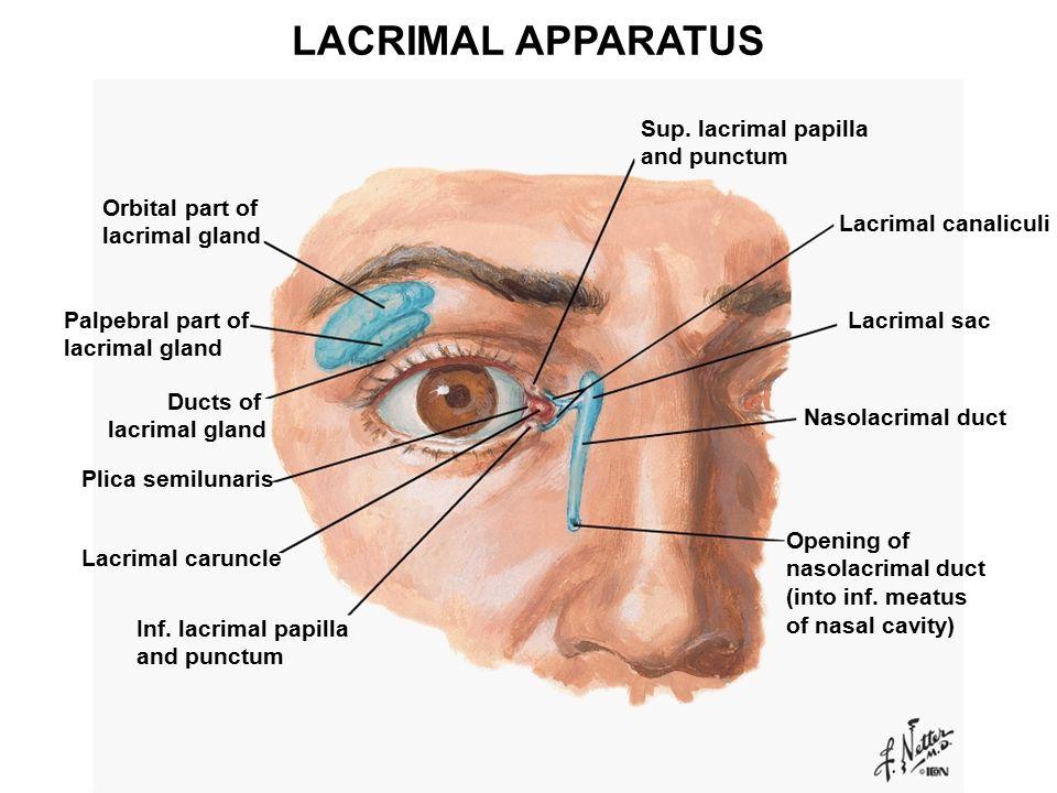 Lacrimal apparatus anatomy