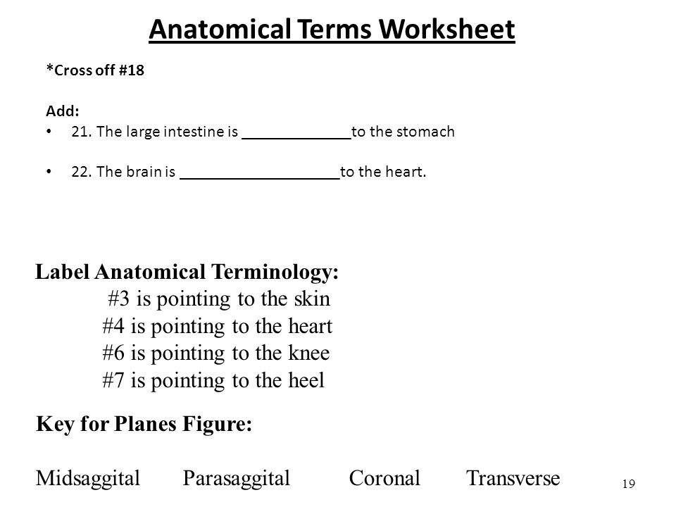 28 Anatomical Terms Worksheet Answer Key Rocks And