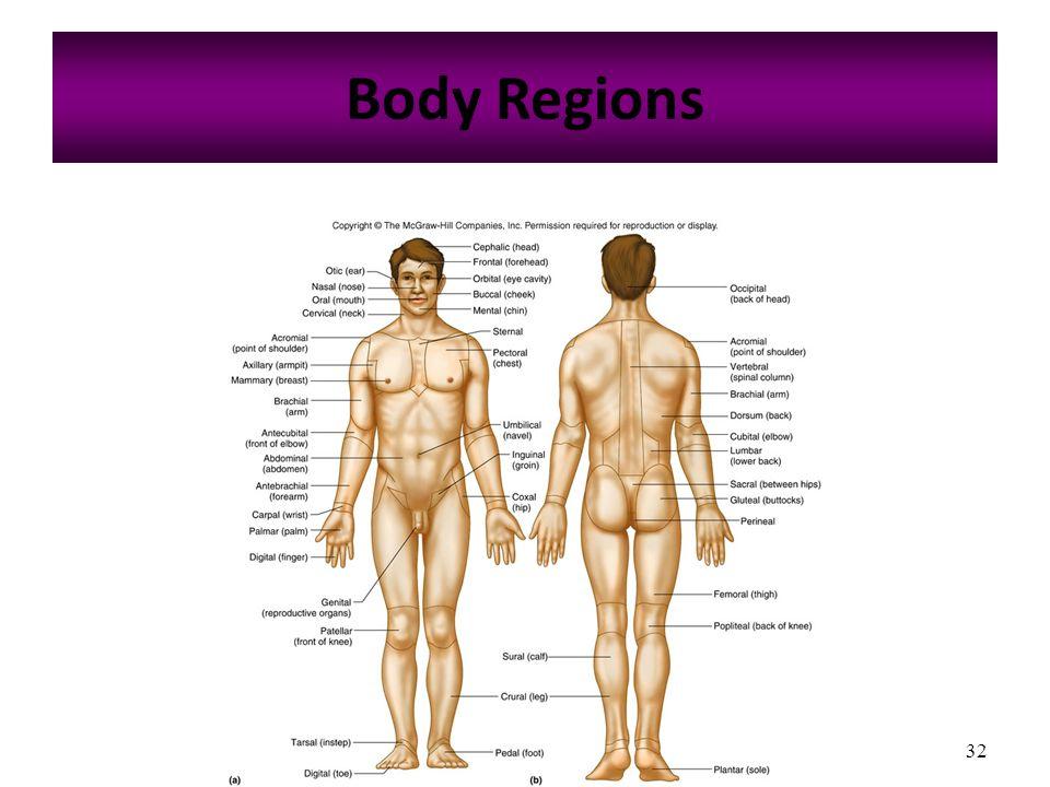 Body regions in anatomy 9189133 - follow4more.info