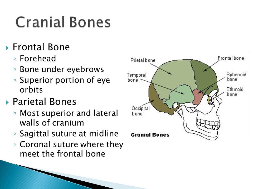 skeletal organization - ppt video online download, Sphenoid