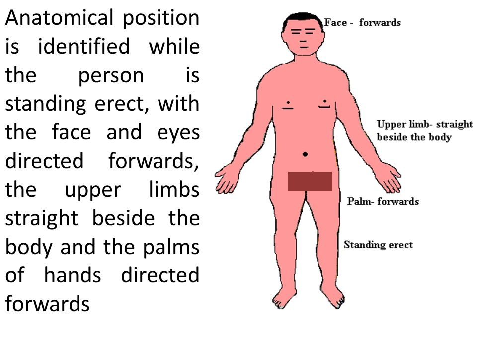 Anatomical position is identified while the person is standing erect, with the face and eyes directed forwards, the upper limbs straight beside the body and the palms of hands directed forwards