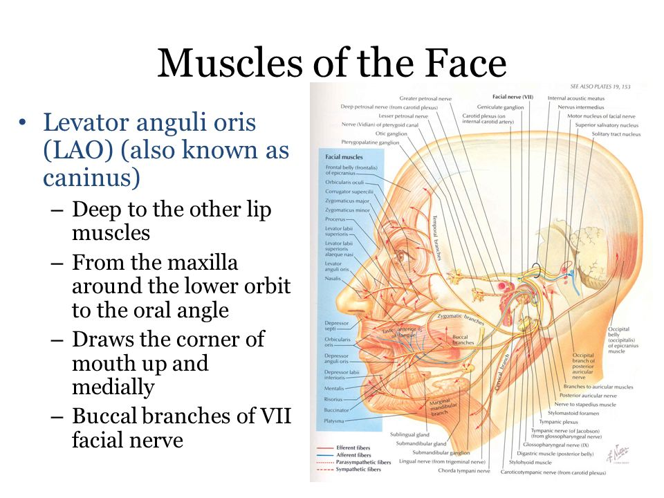 muscles of the face 1. orbicularis oris superior/ orbicularis oris, Human Body