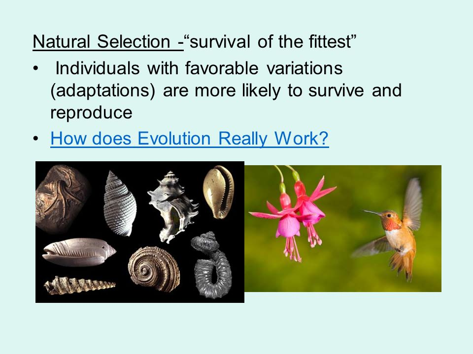natural selection to survival of the fittest Of the principle of the survival of the fittest (ie what many writers refer to as the principle of natural selection), but with their understanding of the relationship between this principle and darwin's overall theory of natural.