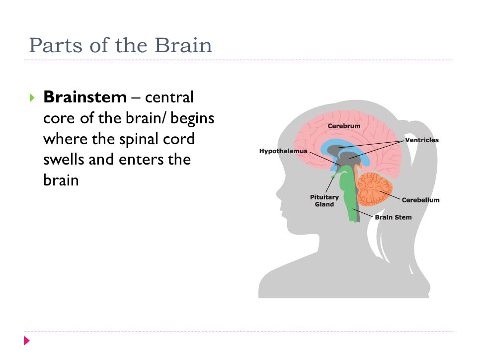 Methods of Studying The Brain - ppt video online download Brainstem And Spinal Cord